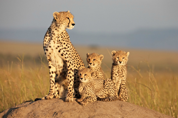 photo of cheetahs