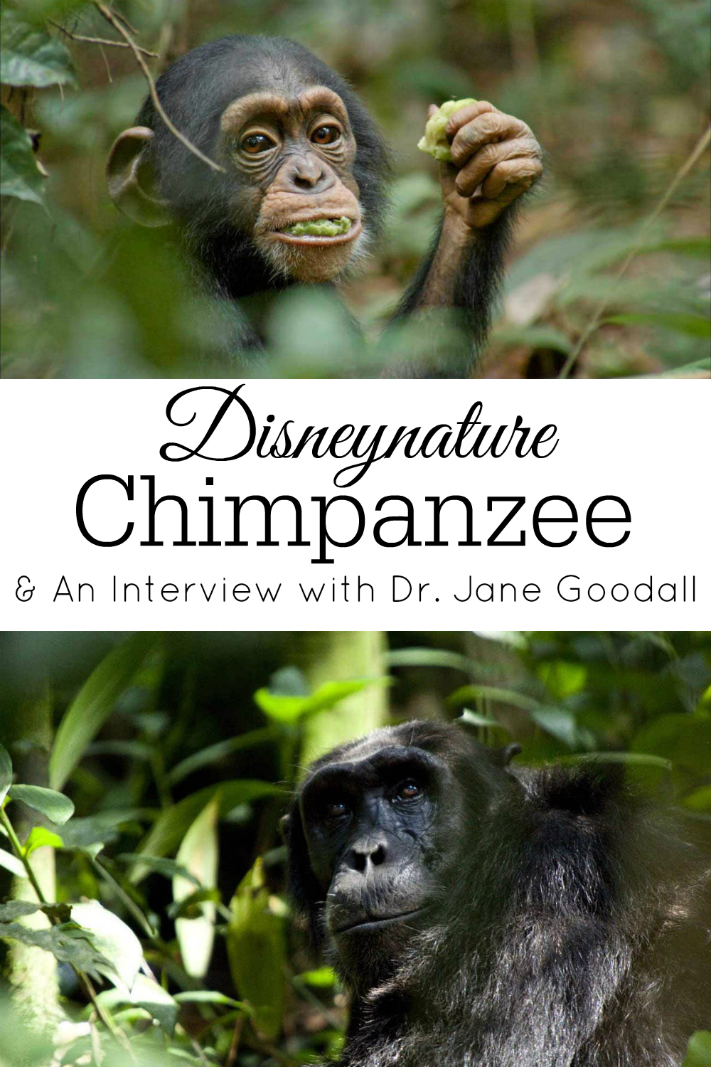 collage of chimpanzees from Disneynature's film