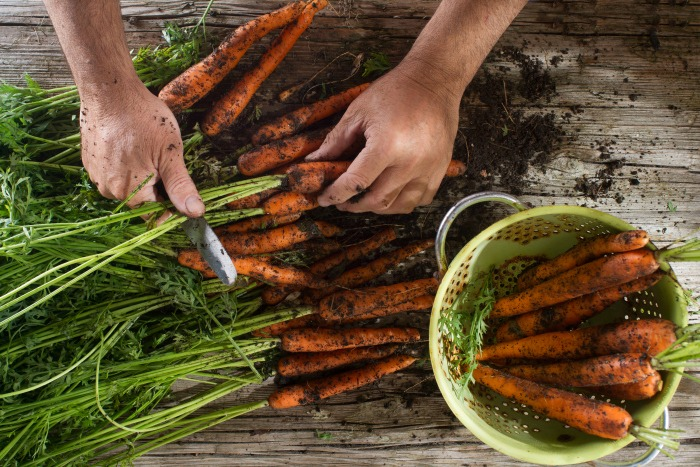 Cleaning and preparation of a bunch of freshly picked carrots