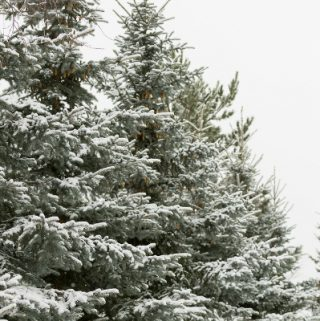 A snowy evergreen tree in the open air.